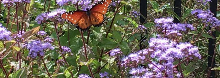 Butterflies on Blue Mistflower